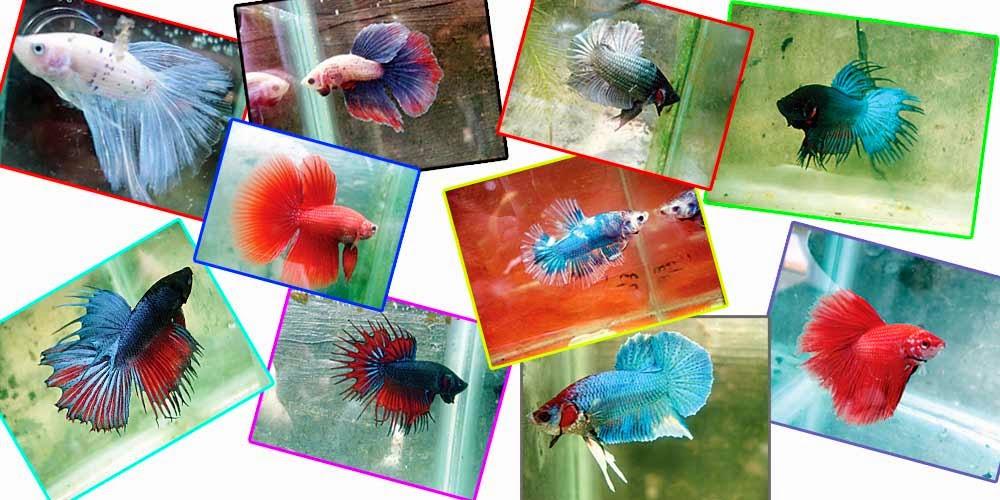 Gokugen.Net: Mengenal Beberapa Jenis Ikan Cupang ...