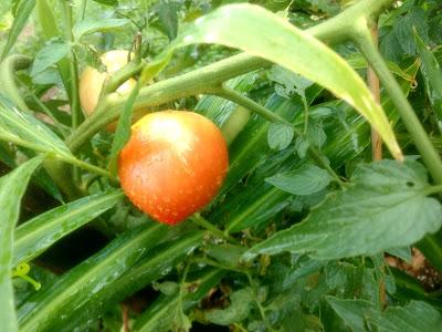 A foto mostra lindos tomates cultivados na horta caseira  sem agrotóxicos, mas com adubo orgânico tudo é mais saboroso e excelente para a  saúde.