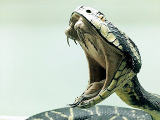 A big snake with mouth wide open