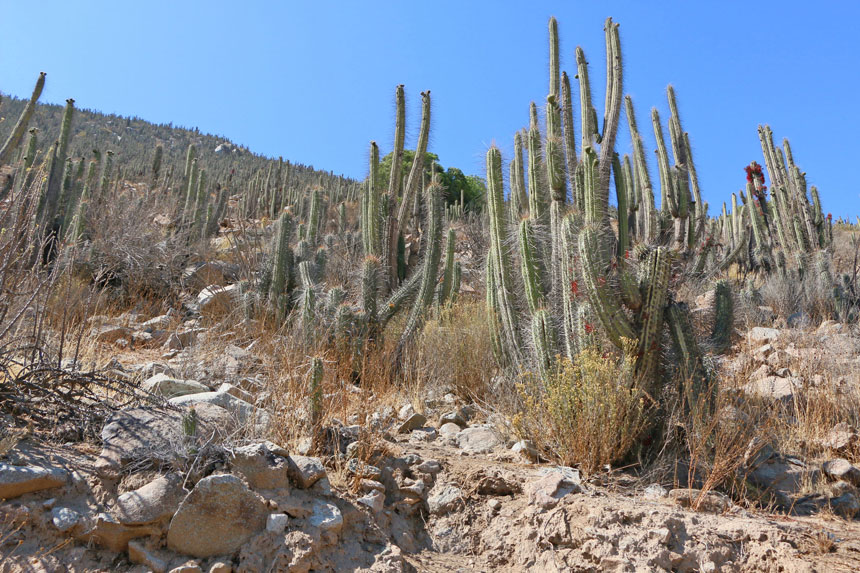 cactus-vallee-elqui-chili-roadtrip-voiture