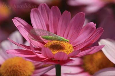 phòng trừ rệp hoa hồng bằng côn trùng có ích