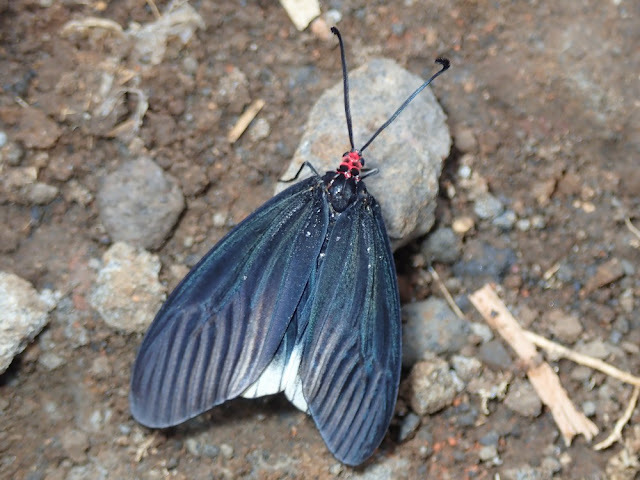 Gynautocera philomela