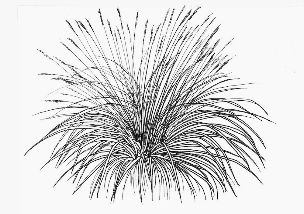 Line Drawing Grass : Noel s garden grasses update on facts and fears