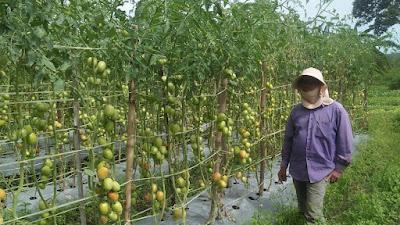 Panen Tomat Di Tengah Pandemi Covid-19 Tambah Penghasilan Warga di Toba
