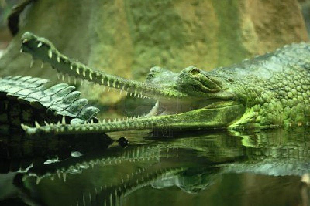 Image of: Walk Flickriver Encyclopaedia Of Babies Of Beautiful Wild Animals The Baby Crocodile