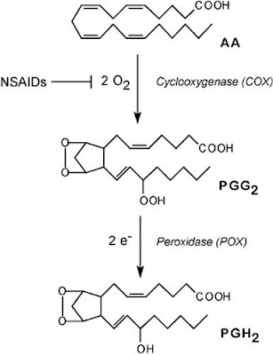 Steps in conversion of arachidonic acid