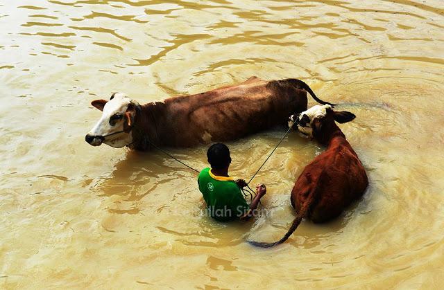 Aktivitas memandikan sapi di sekitaran Candi Ijo