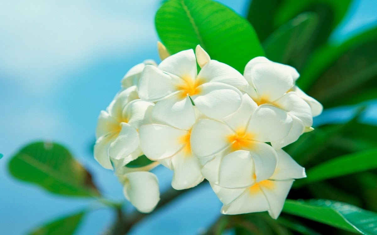 White Flowers Widescreen HD Wallpaper 10