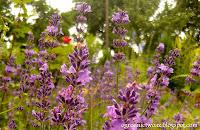 Lawenda wąskolistna- Lavandula angustifolia