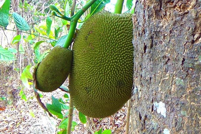 Dlium Jackfruit (Artocarpus heterophyllus)