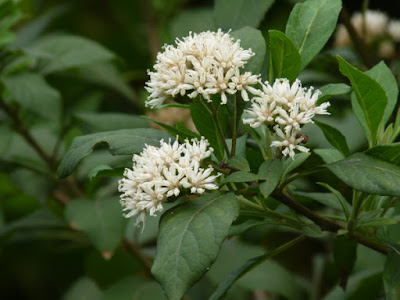 หนานเฉาเหว่ย (Gymnanthemum Extensum)