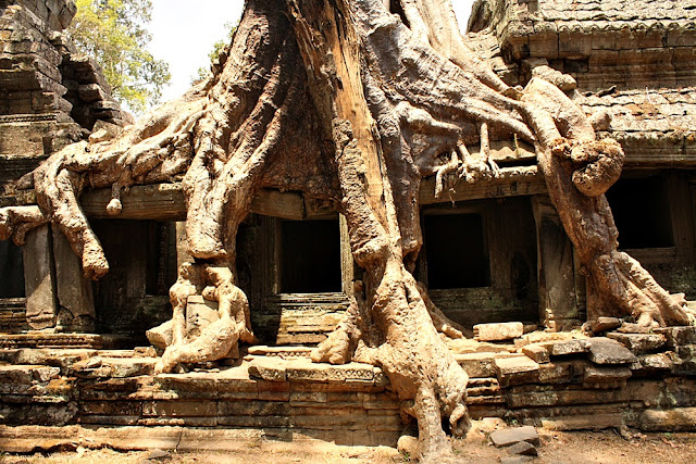 Huge trees in Preah Khan in Angkor park, Cambodia