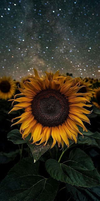 lockscreen sunflower wallpaper