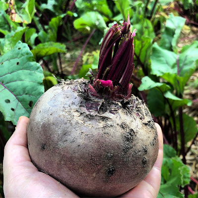 red beet the size of the hand that's holding it
