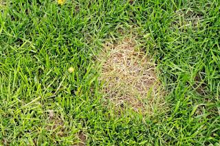 mocz na trawie