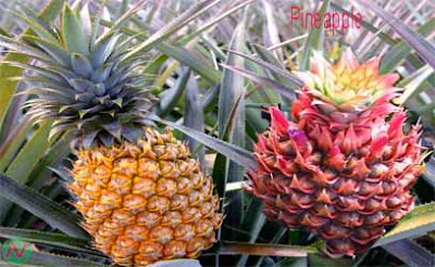 pineapple; pineapple fruit