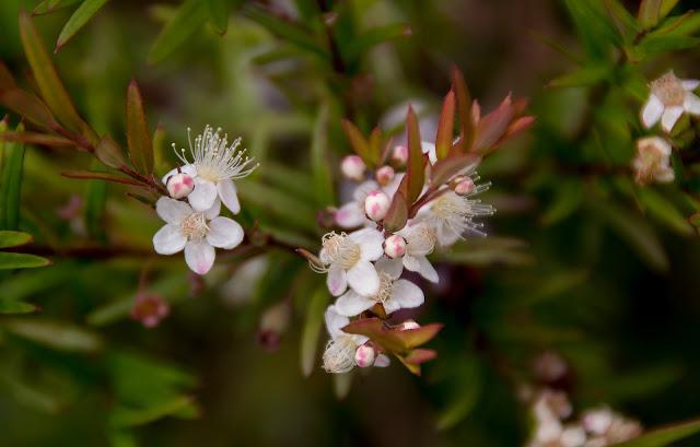 Austromyrtus%2Bdulcsis%2Bflower.jpg