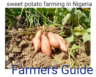 Potatoes farming in Nigeria (lucrative business in Nigeria)