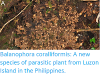 http://sciencythoughts.blogspot.co.uk/2015/06/balanophora-coralliformis-new-species.html