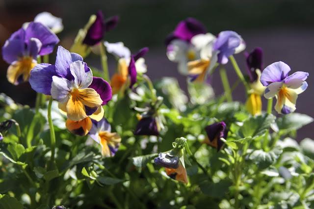 violas, garden flowers, Anne Butera, My Giant Strawberry