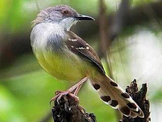 Burung Ciblek- Mengenal Lebih Dekat Burung Ciblek dan Burung Kicau dari Suku Cisticilidae - Penangkaran Burung Ciblek