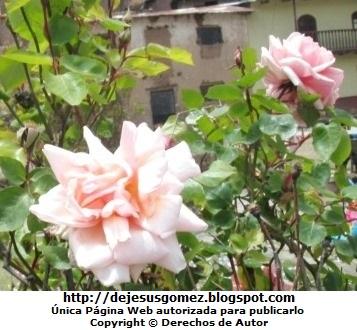 Foto de rosas en la sierra peruana de Jesus Gómez