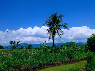 Farm Land Scenery with Coconut Tree and Rice Seedling