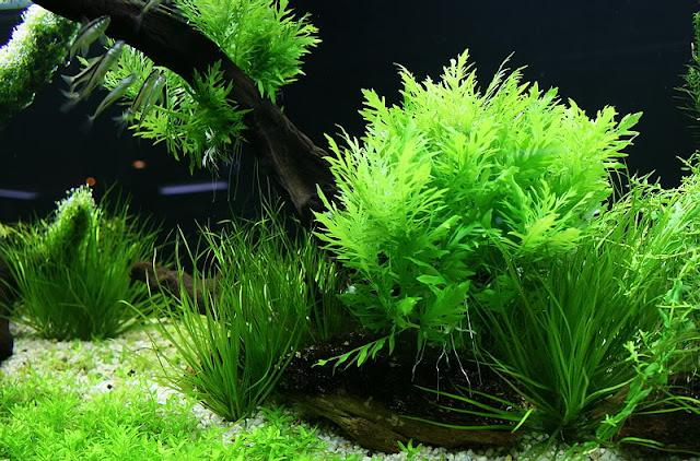 Cây Thủy Cúc trong hồ Thủy Sinh