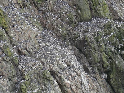 A photograph of guillemots closely bunched together against a dark cliff face