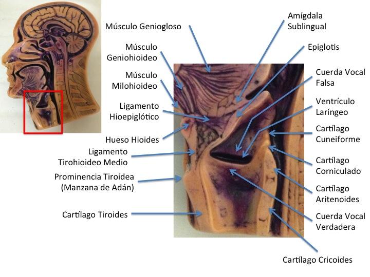 FCM-UNAH Anatomía Macroscópica: Hemicara (Vista Interna)