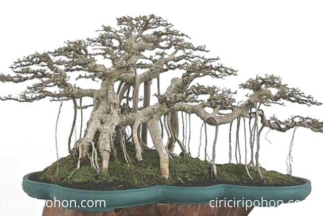 Ciri Ciri Pohon Bonsai Beringin