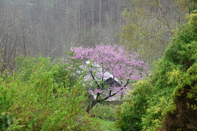 Redbud Sings Amidst the Green