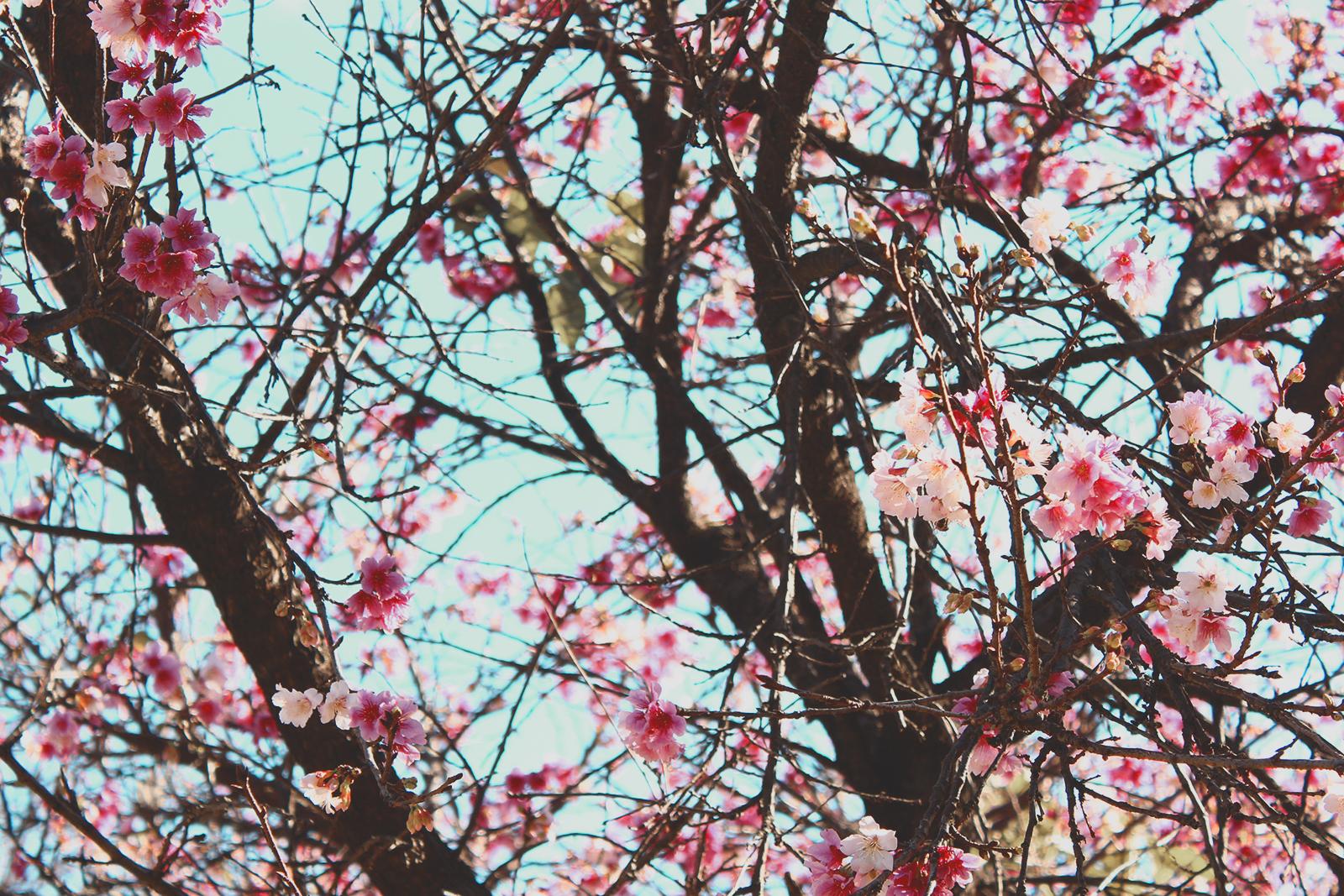 flores cerejeira