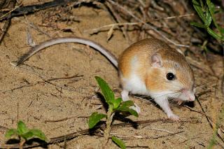 Image of a Kangaroo Rat