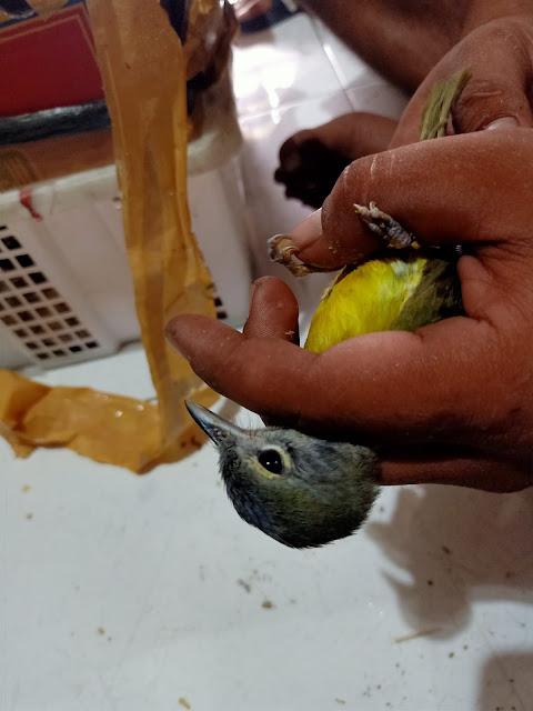 Mengenal Ciri Jantan Dan Betina Burung Samyong