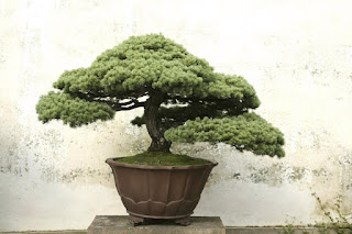 Bonsai Tree Meaning and Symbolism