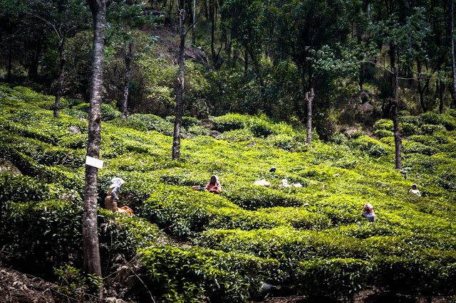 Tea plantations in Munnar, Kerala