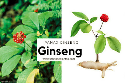 Ginseng americano es Panax quinquefolium, el Ginseng blanco es e Chino, Ginseng Rojo es el Coreano