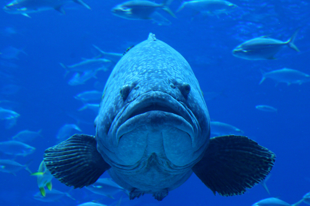 Virginia Tech Ichthyology Class : Groupers Threatened Globally, by ...