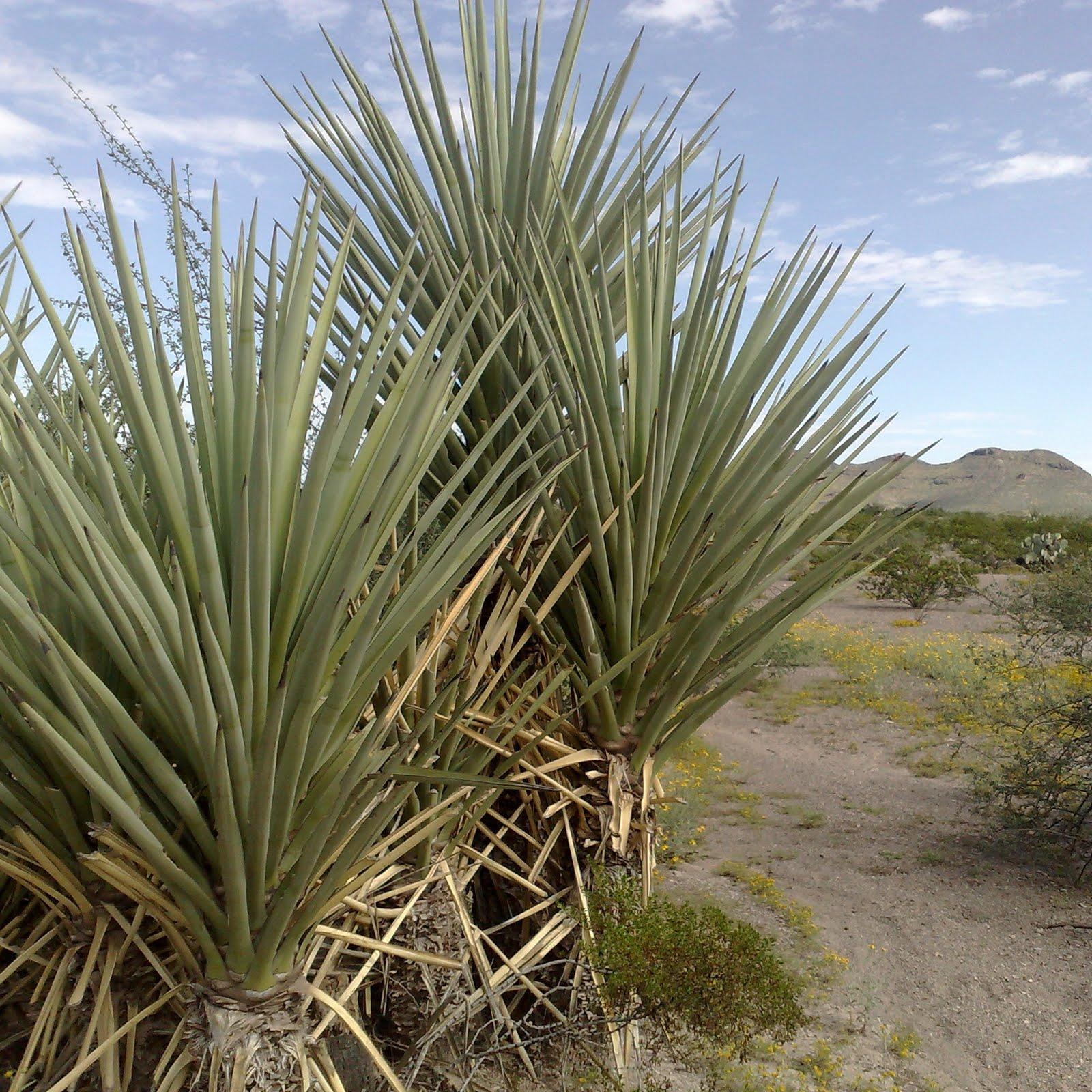 Malinalli herbolaria m dica plantas comestibles y - Plantas que aguantan temperaturas extremas ...