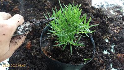 Cắt tỉa cây hương thảo sau khi thay chậu