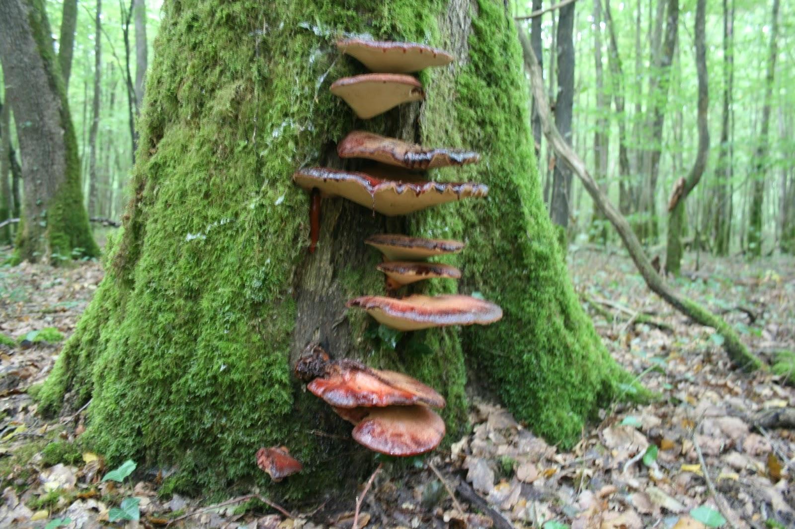 Les champignon viande - Champignon sur tronc d arbre ...
