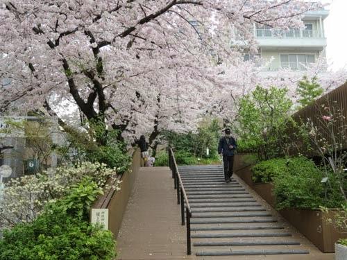 神田明神の桜06