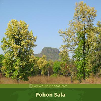 Pohon Sala