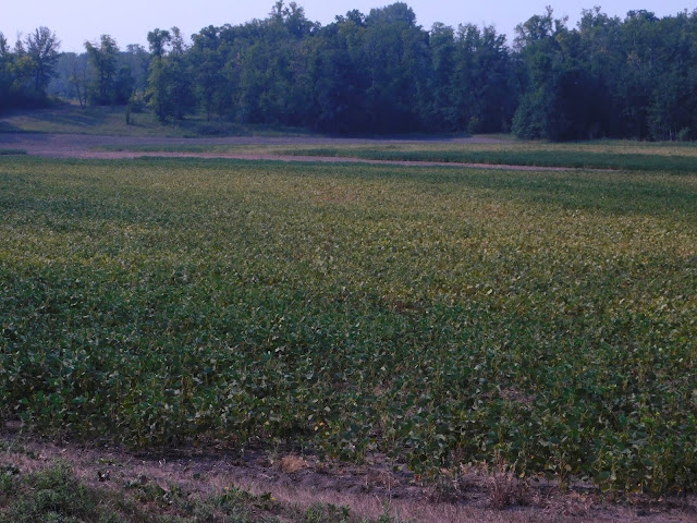 A severe two-spotted spider mite infestation in soybean in northwest Minnesota