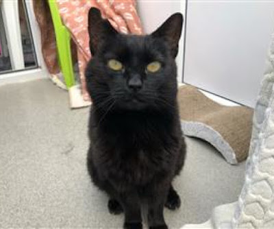 black cat staring into camera waiting for forever home