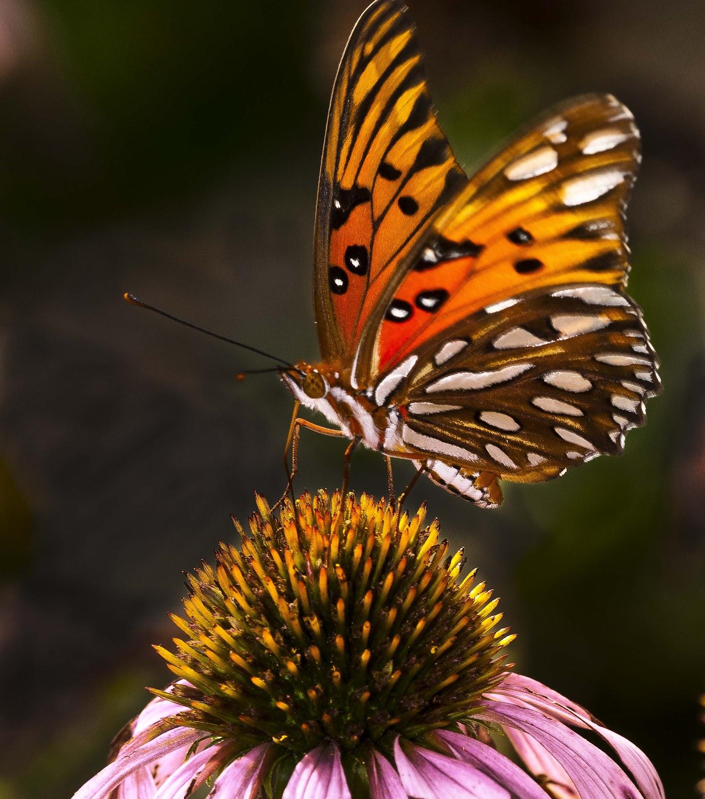 native plants kentucky plant species butterflies wildlife milkweed backlit nectar known attracting purple swamp admirals