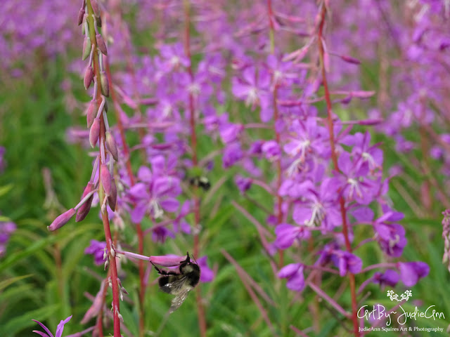 Bumble Bees In Fireweed Field