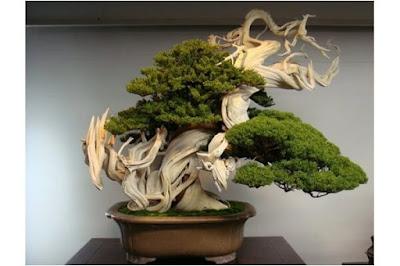 tanaman hias bonsai