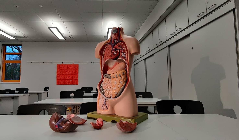 aprende ingles cuerpo humano maniqui modelo anatomico aula clase